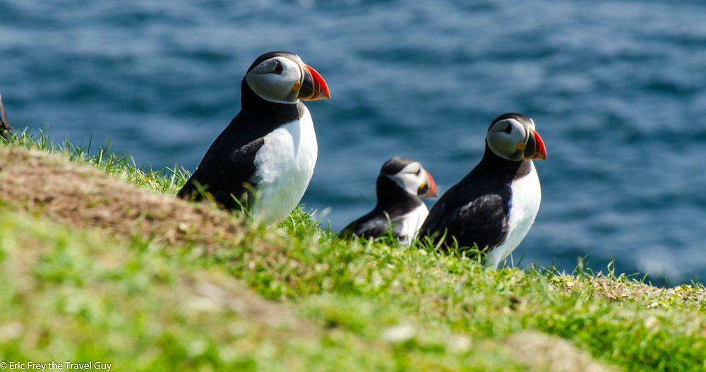 Puffins hanging out on a cliff side.