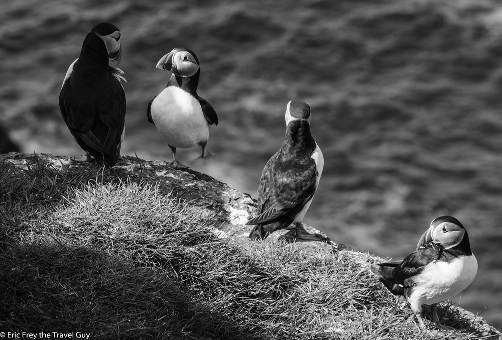 Puffins hanging out!