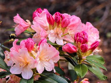 Azaléias e Rododendros