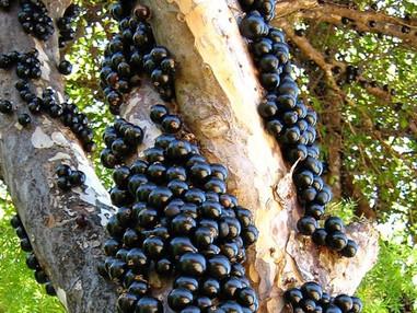 Cultivo de Jabuticabeiras
