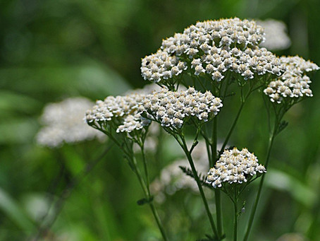 Yarrow for the invincibility of Achilles