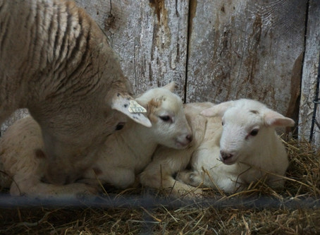 Lambing Started On Schedule
