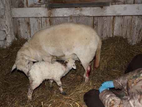 It's a boy! Our first lamb.