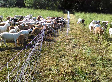 Fence Line Weaning