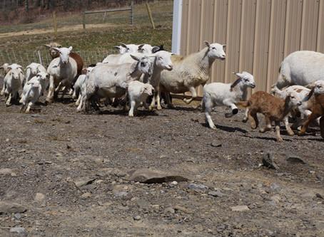 Lambing 2018