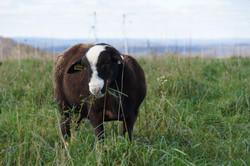 Katahdin Hair Sheep Ram