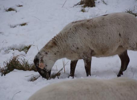 Ewe and ewe lamb pregnancy testing