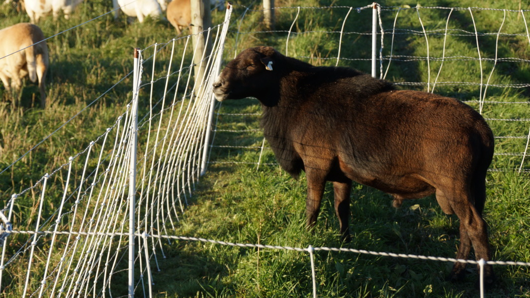 Katahdin Hair Sheep Breeding Ram - WHK 1352