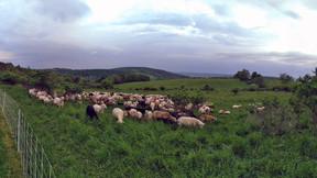 2021 Lamb Weights - 60Days