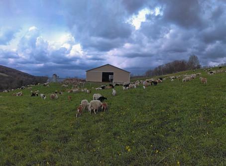 2020 Lambing