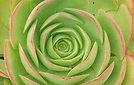 open circle flower.JPG