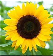 sunflower4.JPG