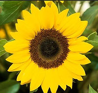 sunflower3.JPG