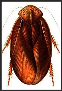 Source: R. Shelford. 1910. Orthoptera. Fam. Blattidae. Subfam. Epilamprinae. Genera Insectorum de P. Wytsman 101:1-29
