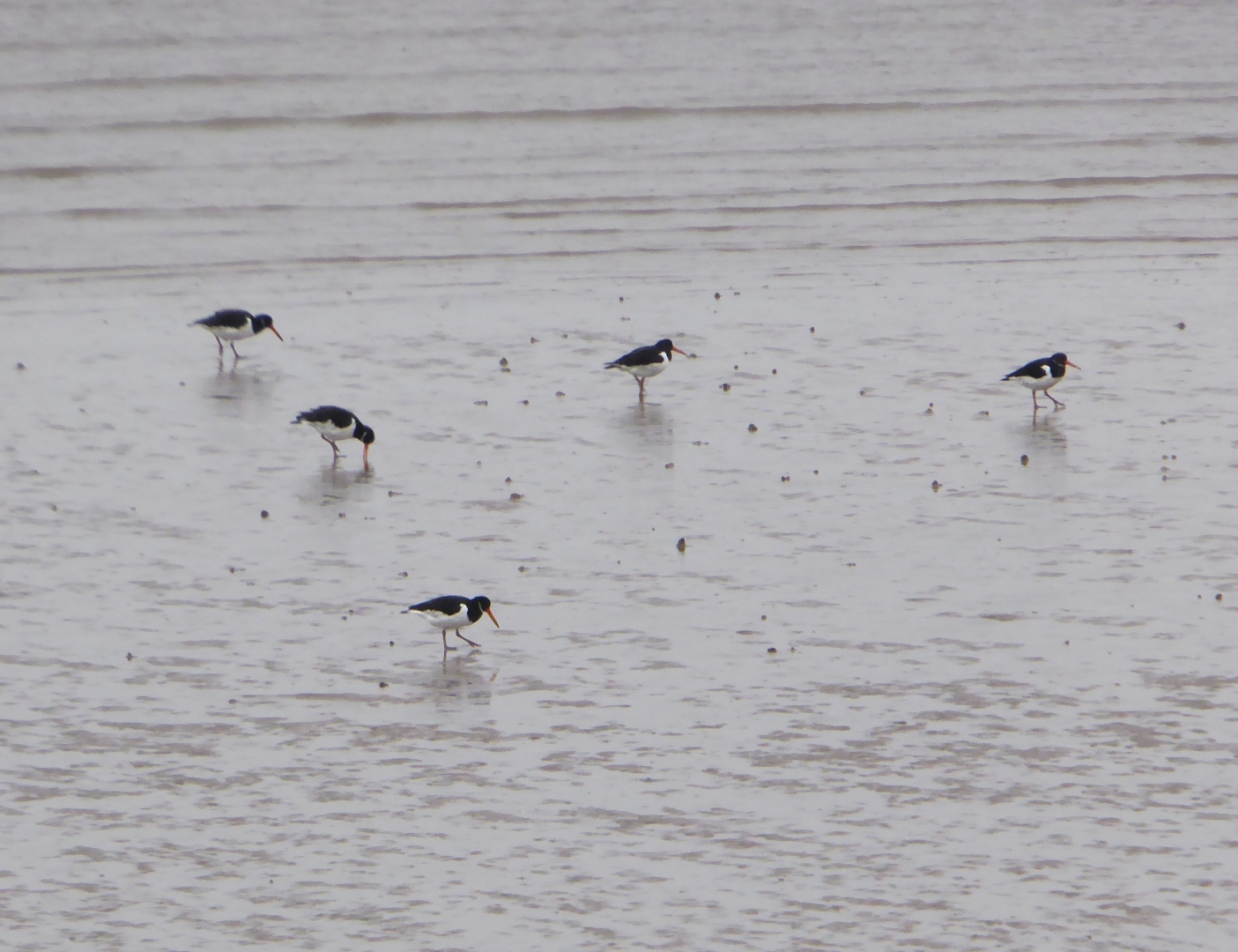 Gilly Linton_Oyster Catchers
