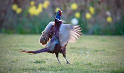Pheasant1_Steve Jeffrey