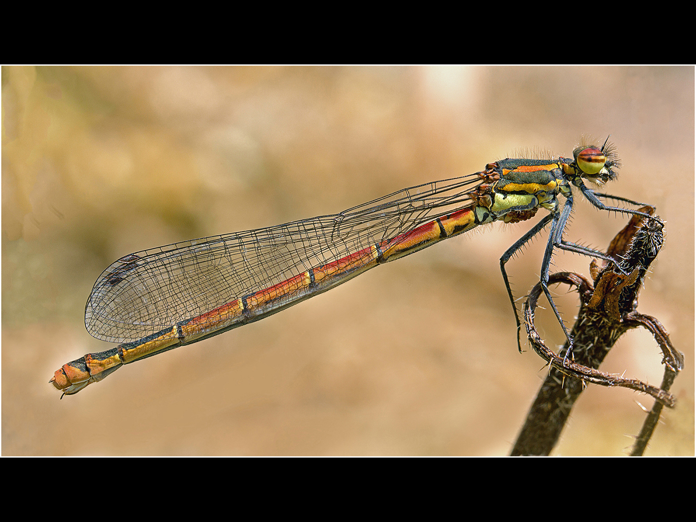 019  Red Damselfly resting on a dead thi