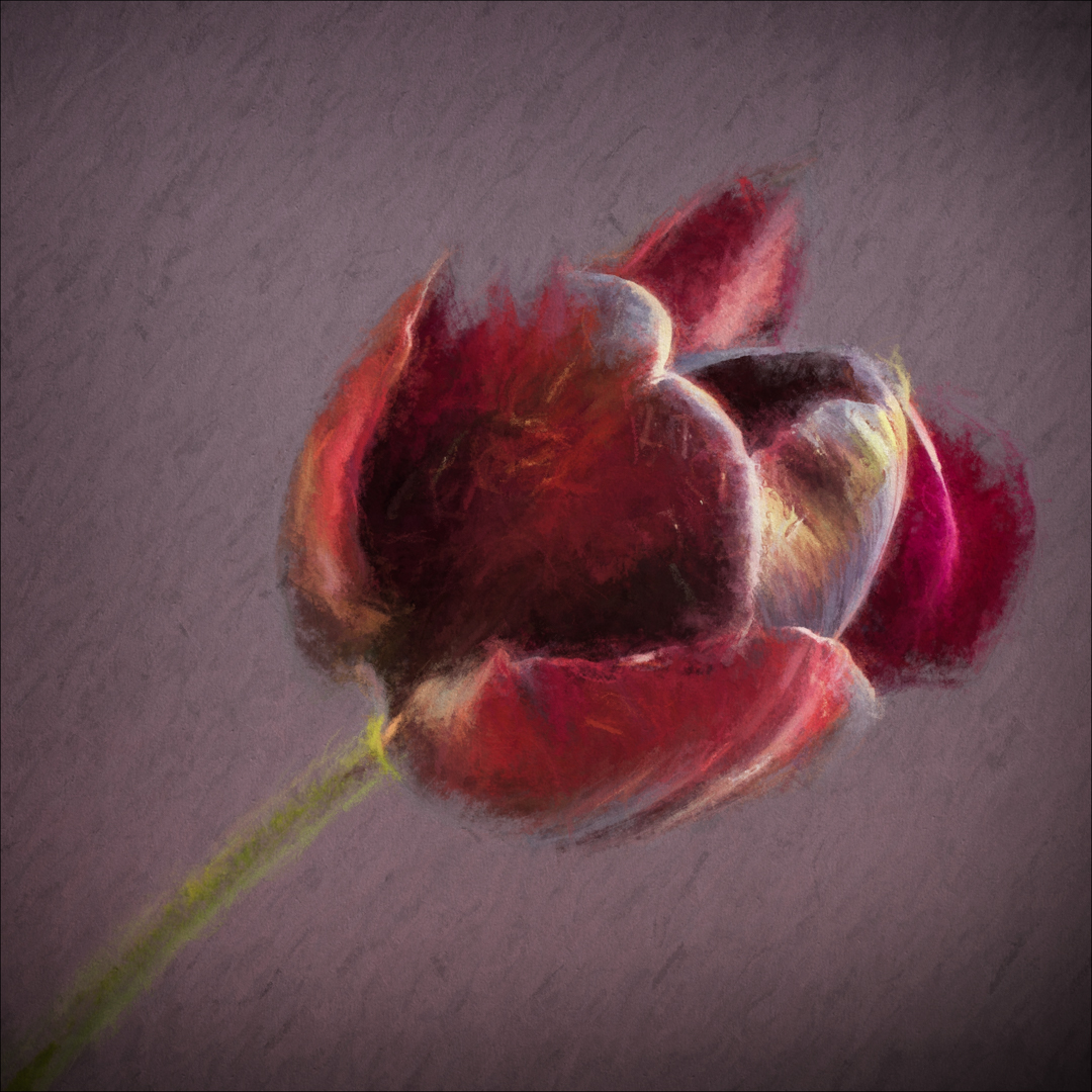 Open Tulip_Sue Thomas