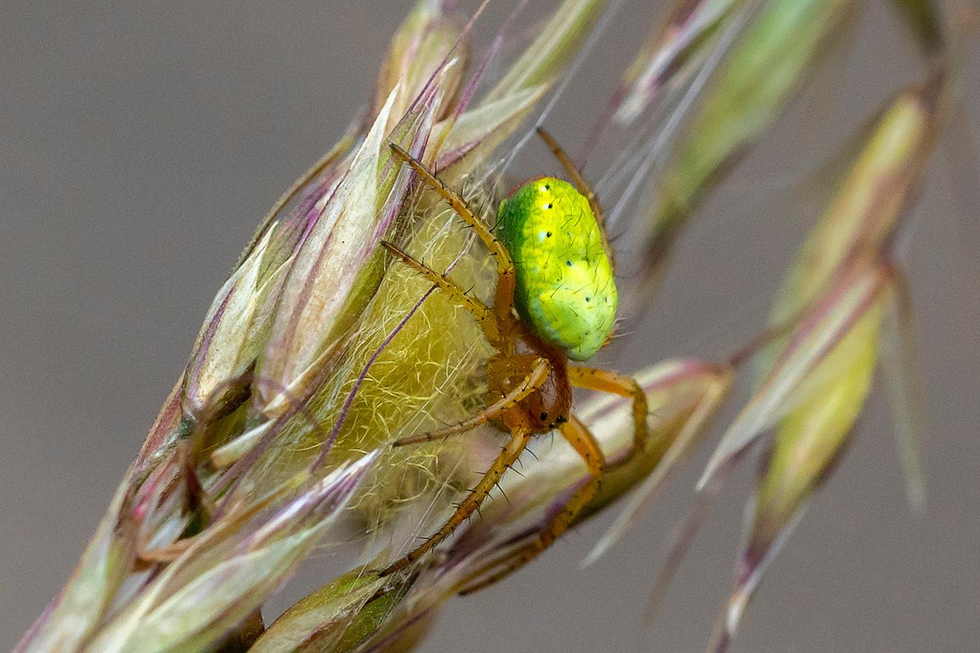 042  Green Orb Spider