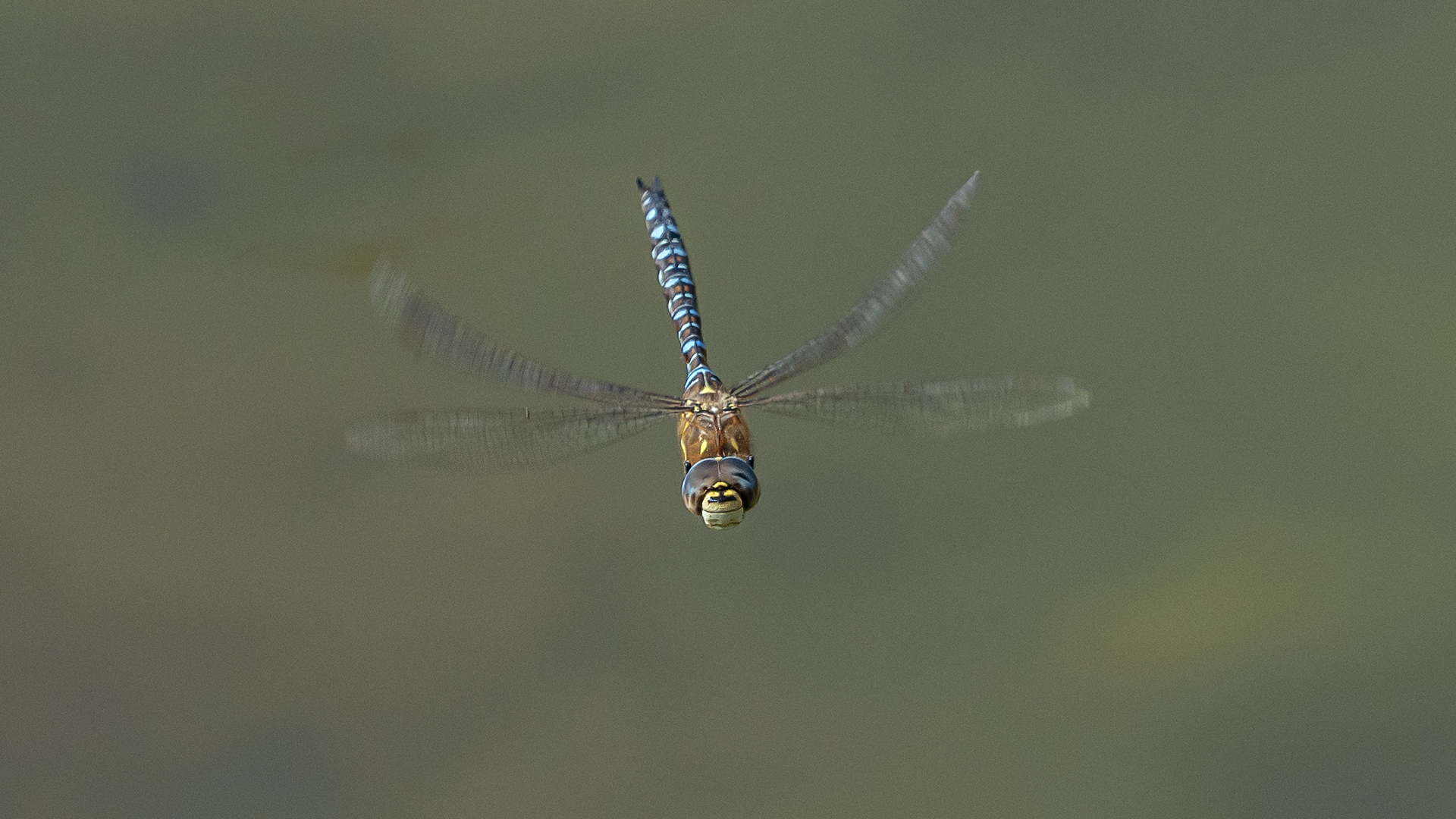7895_Migrant Hawker_Ian Gregory