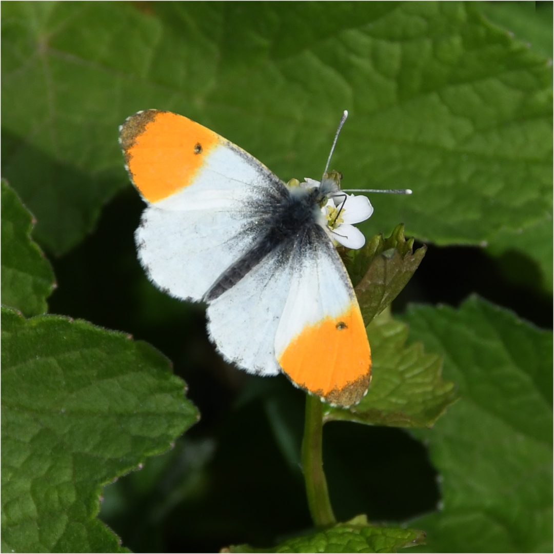 Orange-tip_David Mitchell