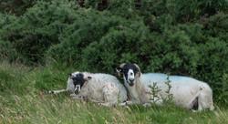 Brace of sheep_Tim Parmley