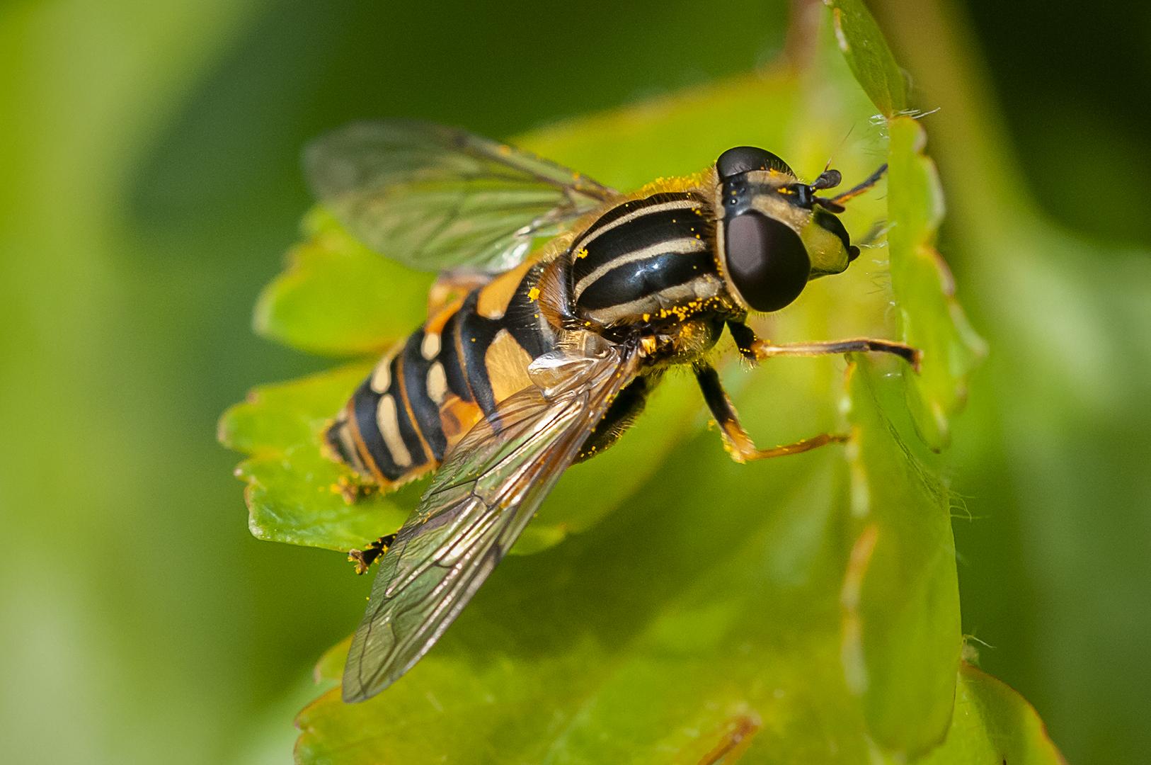 Sun-fly (Helophilus pendulus)_Ian Gregor
