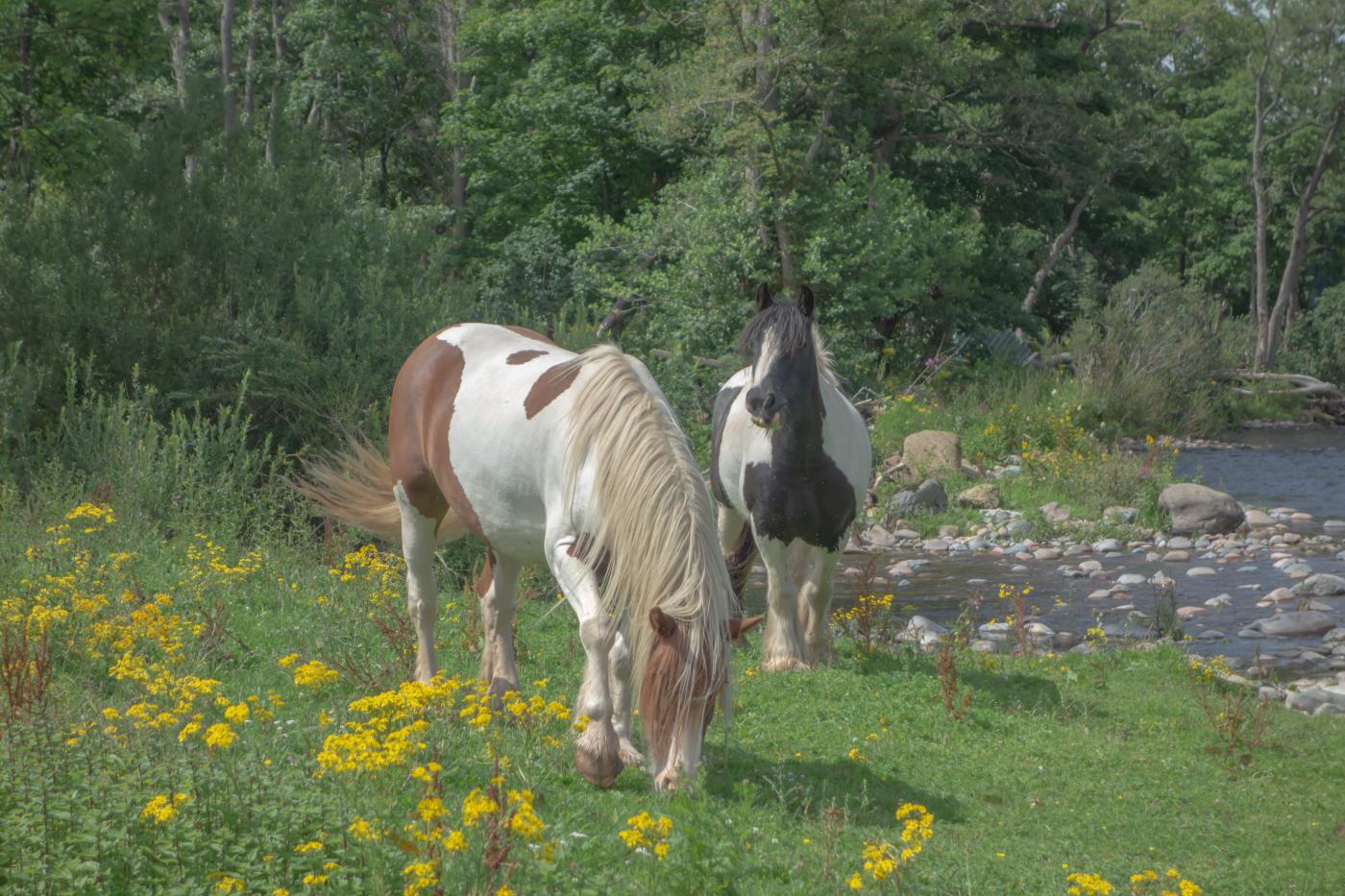Brace of horses_Tim Parmley