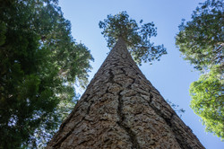 Great Redwood_Tim Parmley
