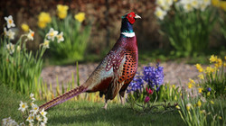 Pheasant2_Steve Jeffrey