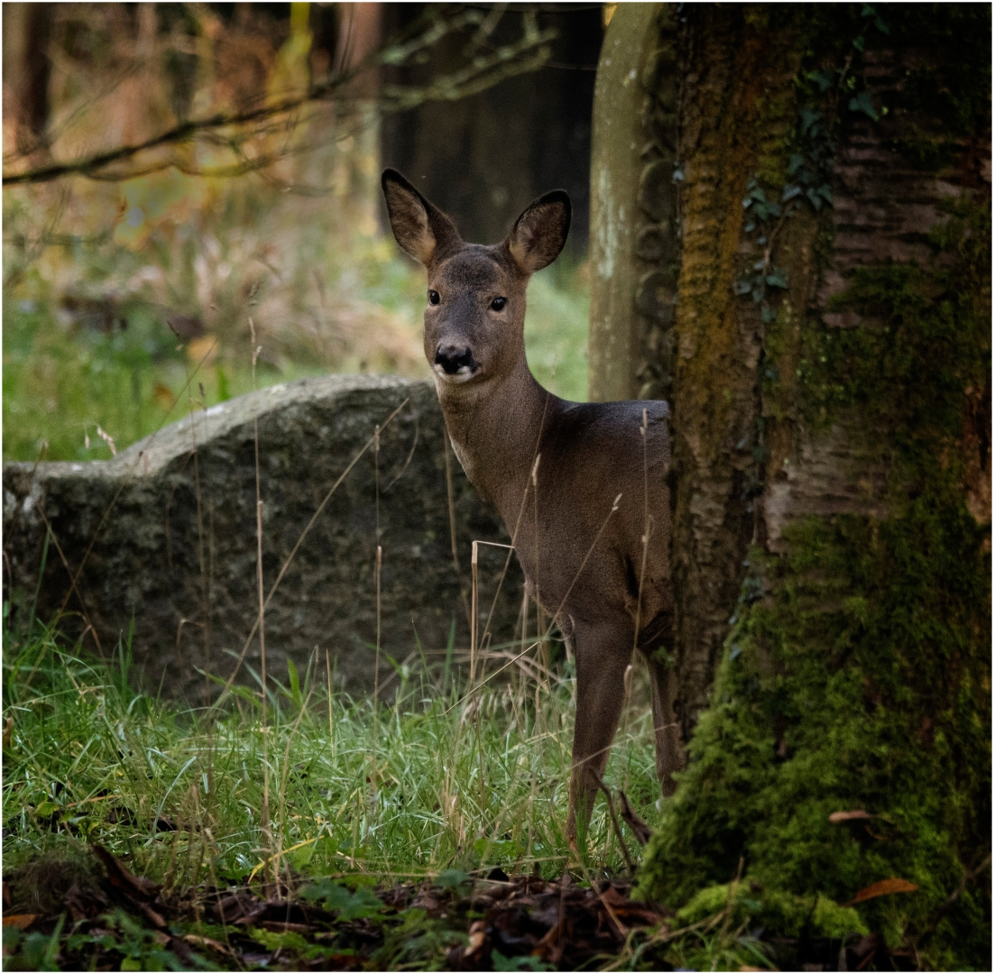 4057_Roe Deer_David Mitchell