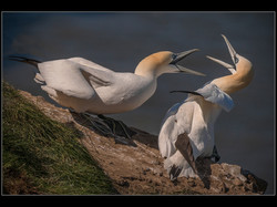 026  Aggression (Northern Gannets)