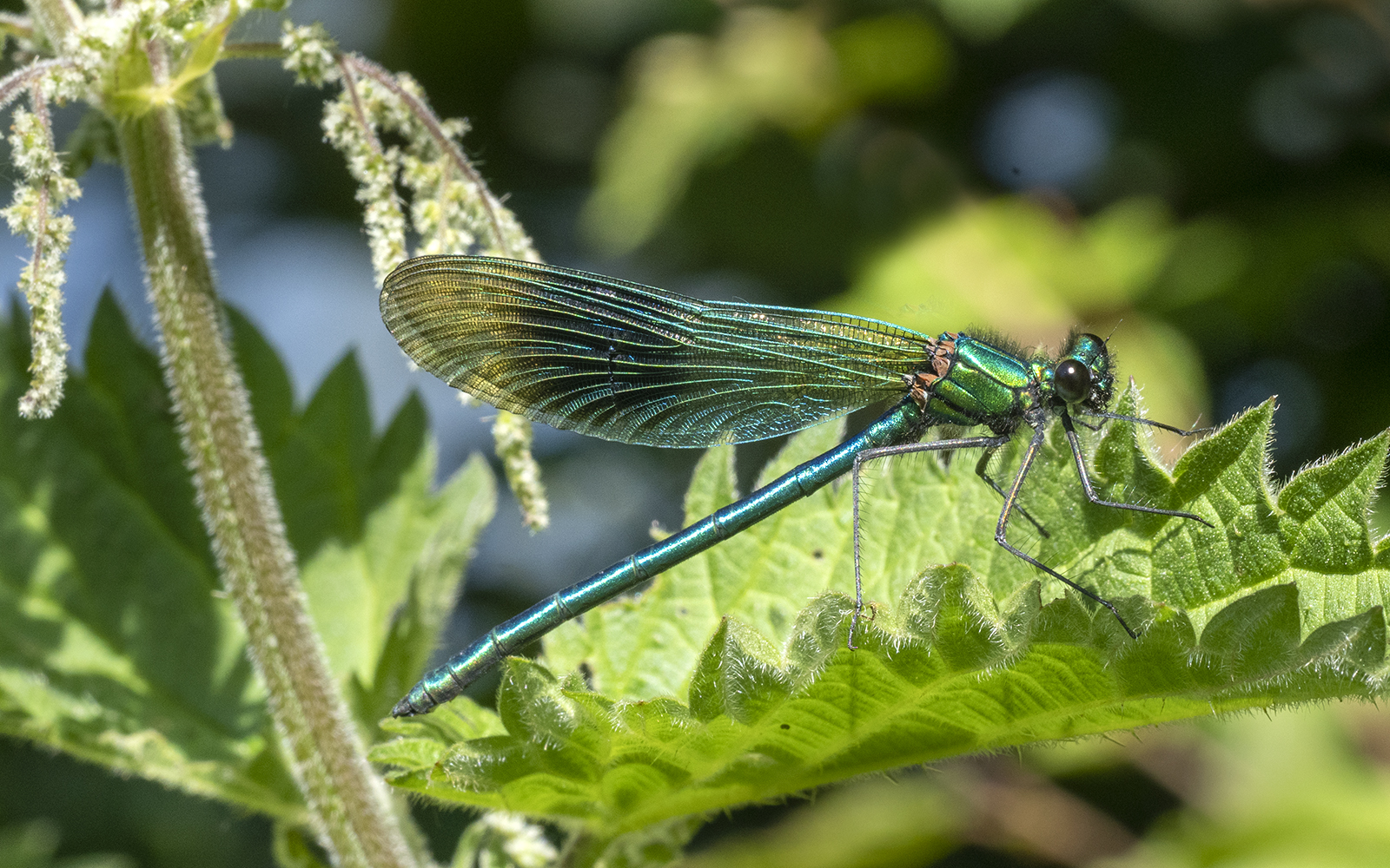 6687_Male Banded Demoiselle_Richard Spei