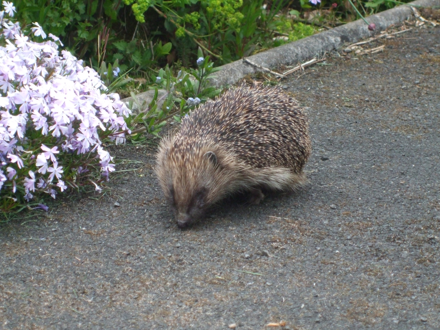 0699_The Hedgehog_Martin Riley