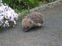 0699_The Hedgehog_Martin Riley