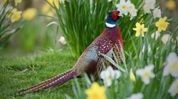 Pheasant4_Steve Jeffrey
