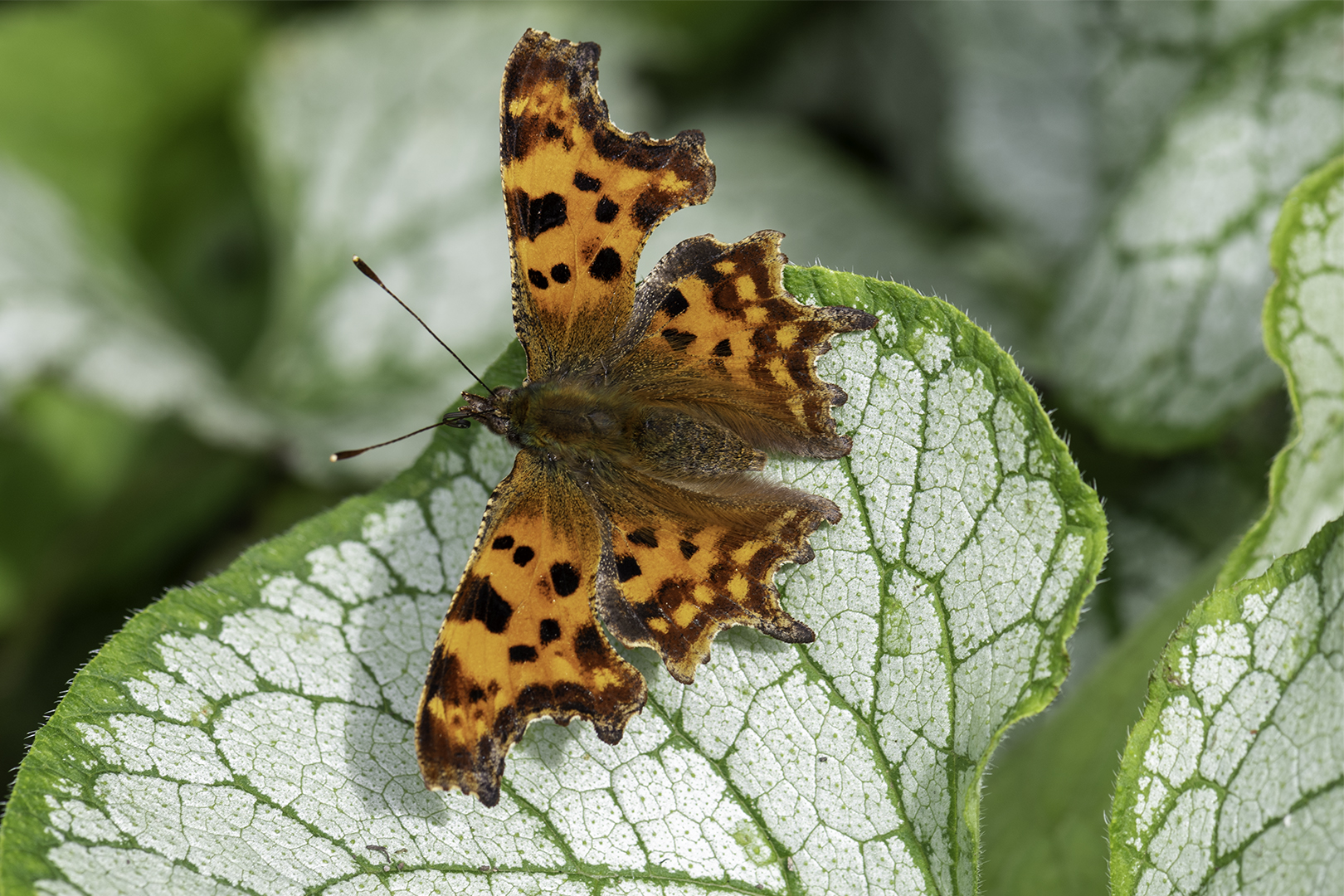 1036_Comma_Paul Nettleton