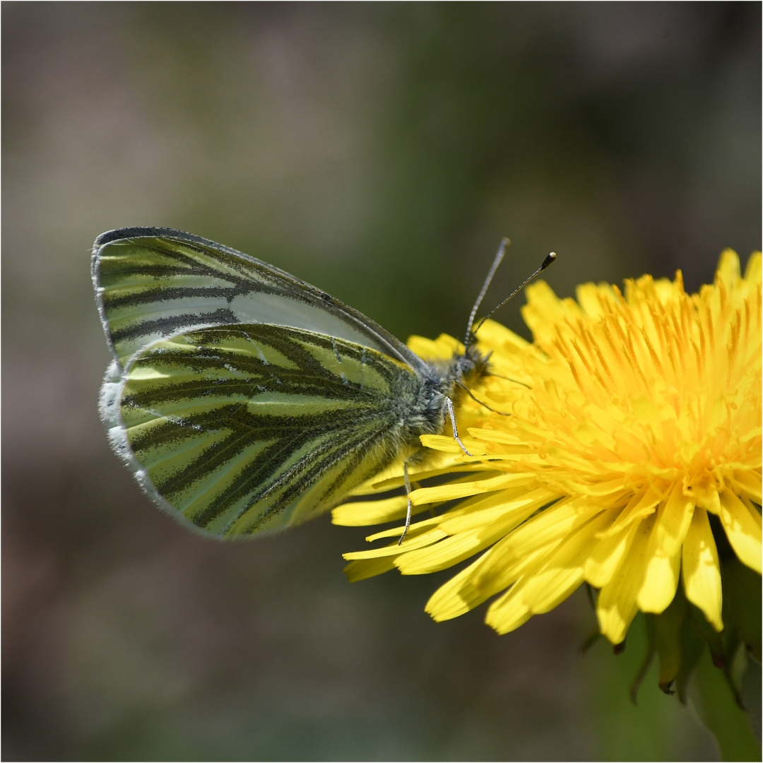 Green-veined White_David Mitchell