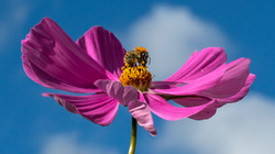 5193_Carder Bee On Cosmos_Ian Gregory