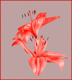 048  Floating Lilies