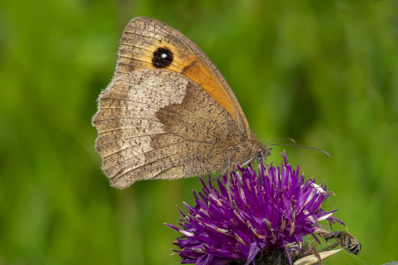 Meadow Brown_Ian Gregory