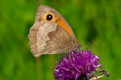 Meadow Brown_Ian Gregory