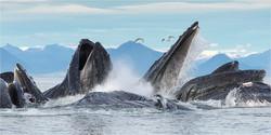032  Humpback Whales bubble net feeding.