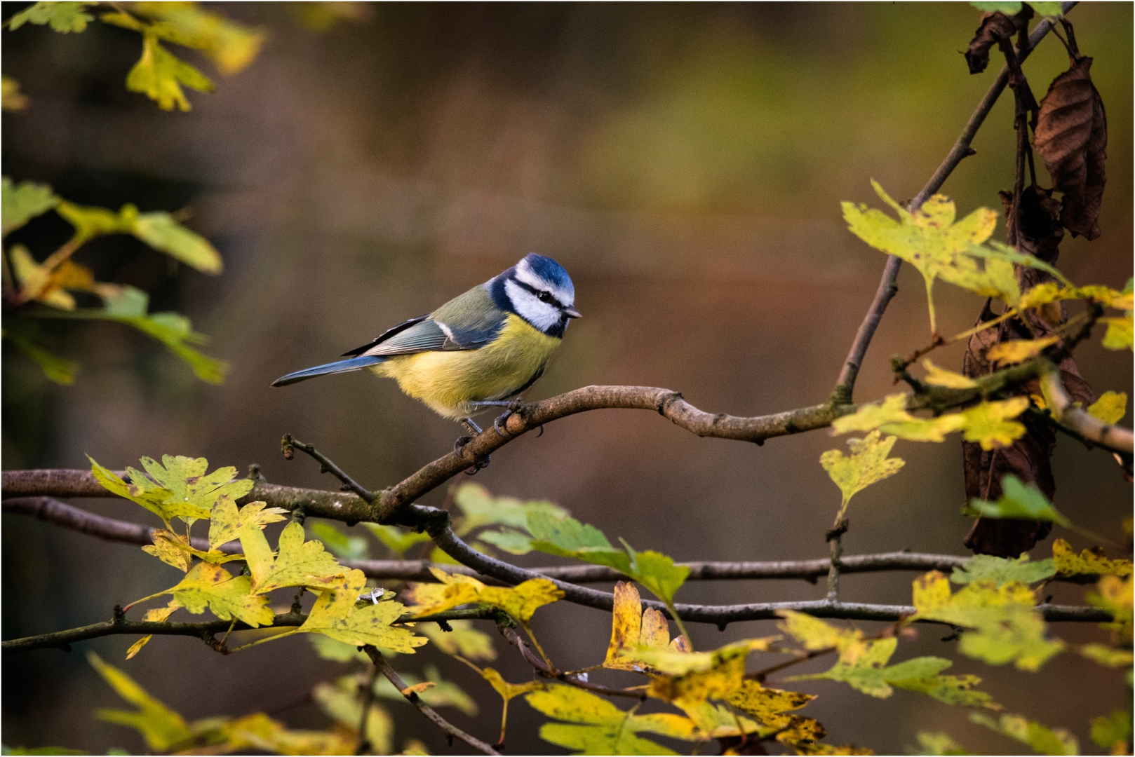 5776_Blue Tit_David Mitchell