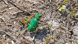 5424_Tiger Beetle_Richard Speirs