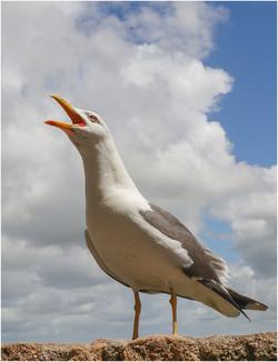 Nigel Stanley_French Gull