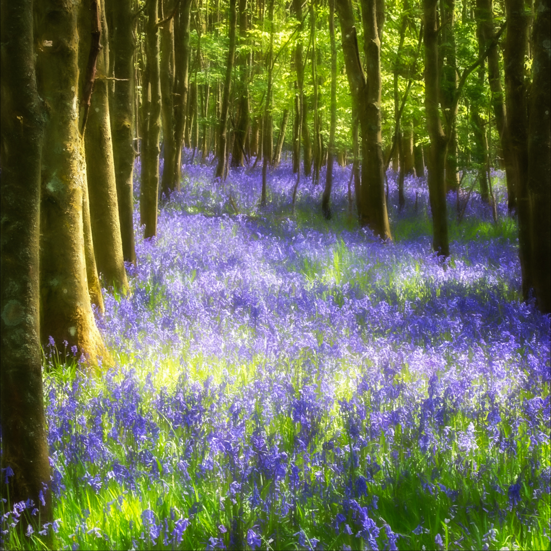 Bluebells_Sue Thomas