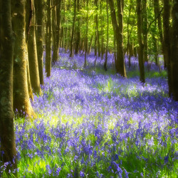 Bluebells_Sue Thomas