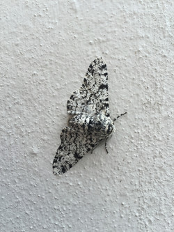 Butterfly or  Moth_Martin Riley