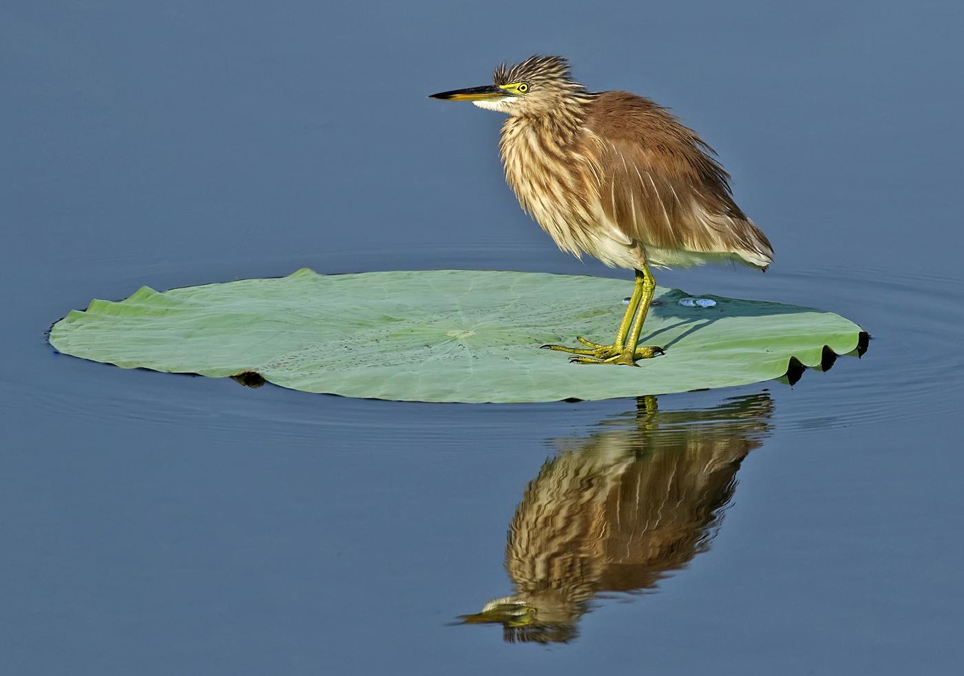 046  Indian Pond Heron reflection